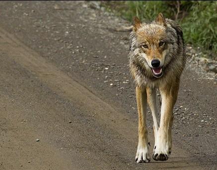 Lobos cerca de Fairbanks