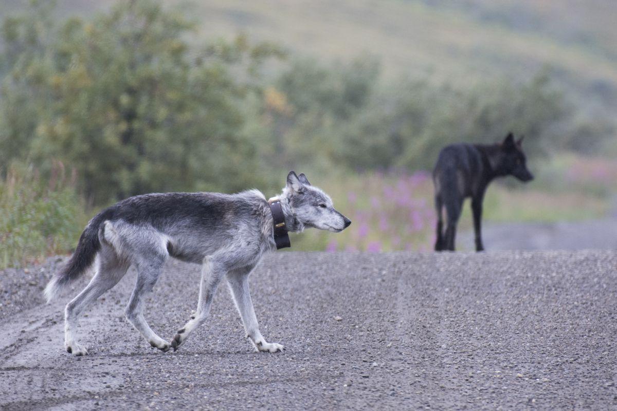 Riley, la loba de Denali