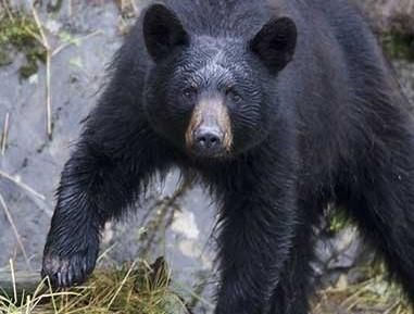 En Haines recogen la fruta para evitar a los osos